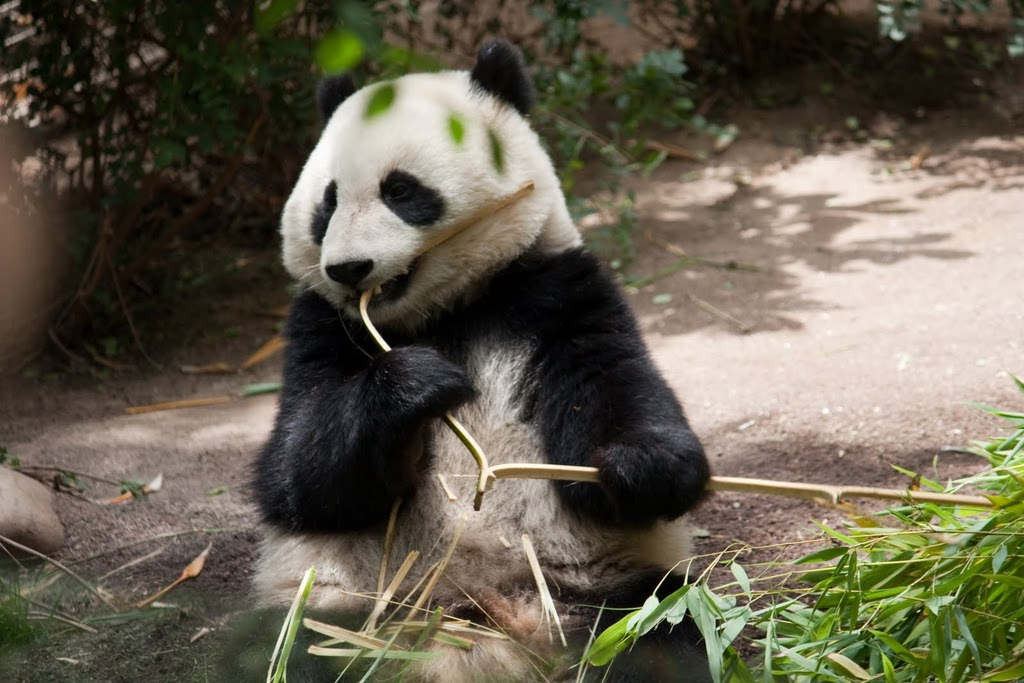 One of the San Diego Zoo's giant pandas.Photo by K. Liu