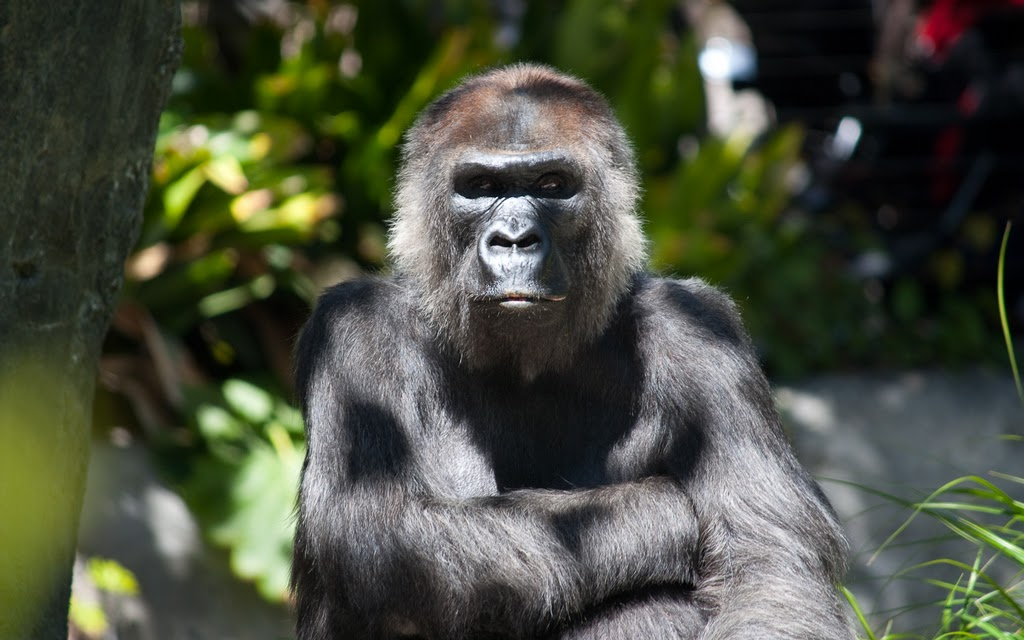 Many endangered apes are cared for by the San Diego Zoo. Photo by K. Liu