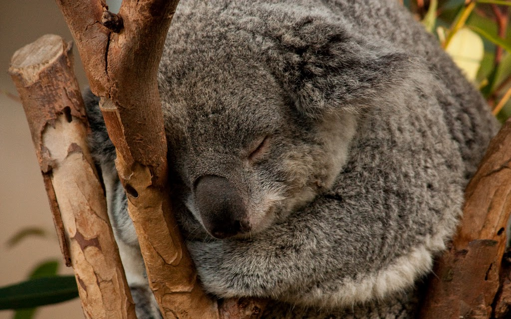 A sleeping koala at the San Diego Zoo. Photo by K. Liu